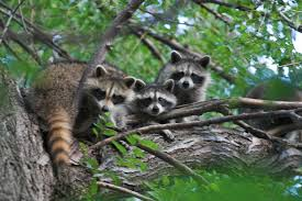 symbolism of a tree file three raccoons in a tree jpg wikimedia commons