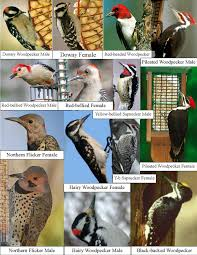 wild birds unlimited how many woodpeckers are in michigan
