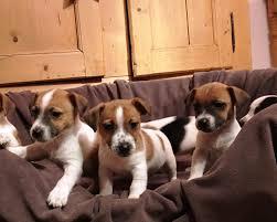 Tierheim Bad Salzuflen Hunde Hunde ähnlich West Highland White Terrier Westi Hunde Nach Typ