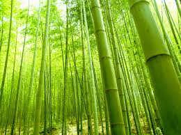 bamboo forest wall mural and removable wall decal