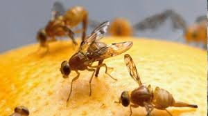 How To Get Rid Of Fruit Flies Naturally Small Footprint Family - Small flies around kitchen sink