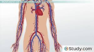 circulatory system ii the human vascular system video u0026 lesson