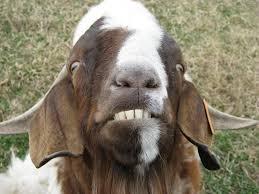 Billy Goat Meme - photo img 5211 jpg billy goat pinterest goats