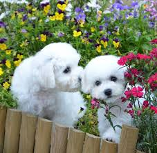 d douglas bichons frise 51 best hypoallergenic dogs images on pinterest animals puppies