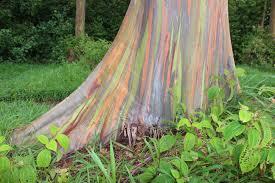 rainbow eucalyptus 4 teardrop adventures