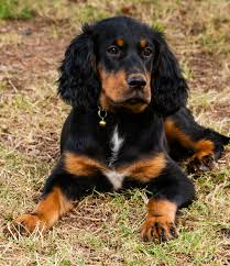 australian shepherd dogtime gordon setter dog breed information pictures characteristics