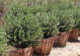 Fragrant Olive Plant Olea Europaea U0027dwarf Olive U0027 T Y Nursery