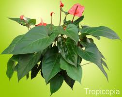 anthurium plant grow care guide houseplant 411 how to