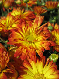 fall mums huntersgardencentre