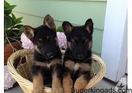 german shepherd puppies for sale matawan free classified ads