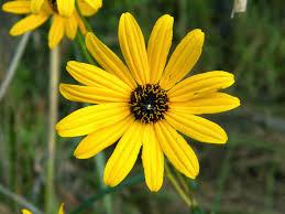 nj native plant society south jersey native plants september plant of the month narrow