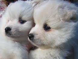 pics of american eskimo dogs american eskimo puppies color dog breeds puppies popularity