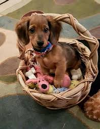 cute basket buddies wallpapers 274 best dachshund puppies images on pinterest dachshunds