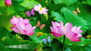 lotus flowers butterfly afraid android apps on brothersoft com