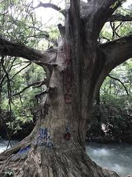 vandals spray paint one of the oldest cypress trees in san marcos