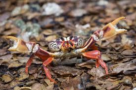 halloween crab gecarcinus ruricola wikipedia