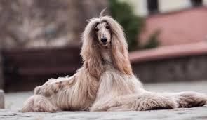 afghan hound lifespan dog breed guides petinsurance com au