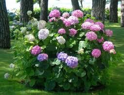 potare le ortensie in vaso ortensia come curare e coltivare le ortensie in vaso e in giardino