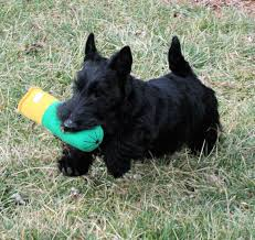 Rosslyn Scottish Terriers Puppies