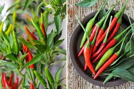 Chili Pepper Kitchen Decorating Themes - red chili thai promotion shop for promotional red chili thai on