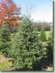 7 best christmas tree varieties images on pinterest christmas