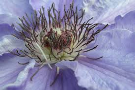 what is the meaning of the clematis clematis and purpose