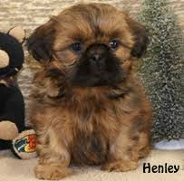 puppies indiana shih tzu puppies for sale in indiana shih tzu breeder in indiana