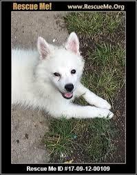 american eskimo dog rescue colorado missouri dog rescue u2015 adoptions u2015 rescueme org