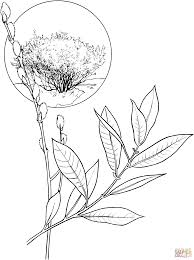 american willow tree coloring page free printable coloring pages