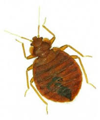 Bed Bugs Smell Study Shows Dirty Laundry Attracts Bedbugs Eliminate U0027em Pest Control