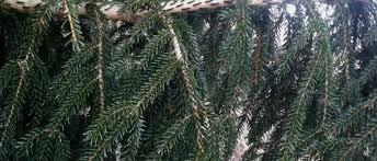 spruce gowdy nursery landscape trees