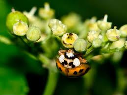 get rid of ladybugs ladybug pest control information