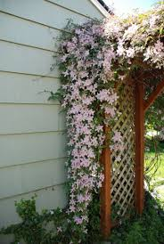 clementis flowers on trellis for garden crafty pinterest