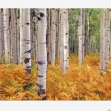 aliexpress buy 100 seeds pack white birch tree seed