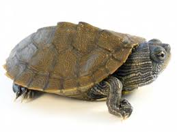 map turtle mississippi map turtle for sale reptiles for sale