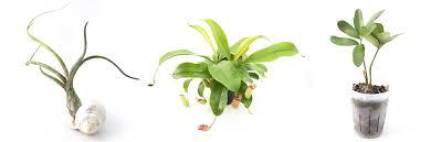 air plants tillandsia tillandsia ionantha mexicana air plant clump
