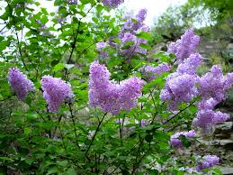 When Is Lavender In Season In Michigan by Lilac Flowering Why Won U0027t My Lilac Bush Bloom