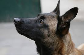 belgian shepherd special forces belgian malinois training for special missions all about dogs