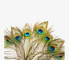 peacock fan peacock fan peacock feather decorative peacock feathers png