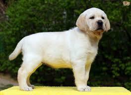 labrador retriever dog breed information buying advice photos