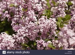 scented flowers of the dwarf lilac syringa meyeri u0027palibin u0027 stock