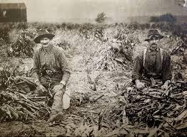 antique occupational farming photo original corn field