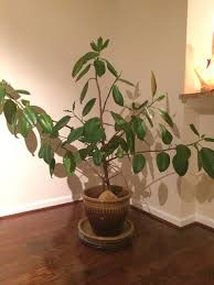 indoor winter january rubber tree care