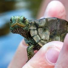 Texas Map Turtle The World U0027s Best Photos Of Graptemys And Map Flickr Hive Mind