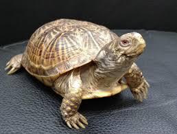 basic care box turtles arizona exotics tortoises u0026 turtles