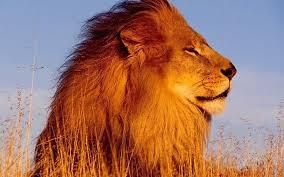imagenes de leones salvajes gratis animales leones animales salvajes del fondo de pantalla fondos de