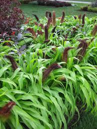 rotary botanical gardens hort pennisetum jade princess