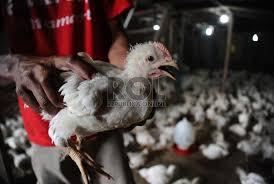kenaikan harga ayam klimaks dari kebijakan pemerintah yang