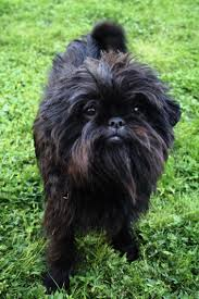 affenpinscher nc gun to your head which is the best dog out of all the dogs