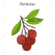 lychee fruit drawing rambutan nephelium lappaceum tropical fruit hand drawn